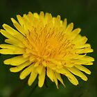 Dandelion by Amy L Edwards