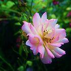 Wild Summer Rose  by J Bonanno