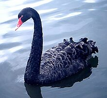 Black Swan  by J Bonanno