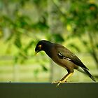 myna the philosopher (thinking about Larry)  by Angelika Sielken