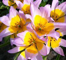 Tulip purple yellow by Julie Van Tosh Photography