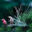 Mr and Mrs Purple Finch by Janice Carter