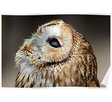 Tawny owl gazing skywards Poster