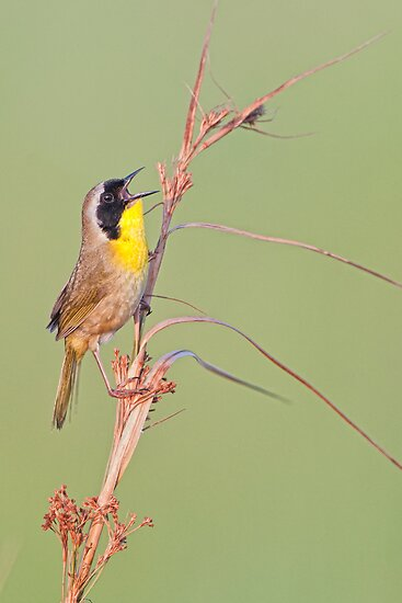 Common Yellow Throat Warbler by Bonnie T.  Barry