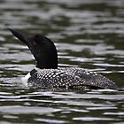 First Loon of the Season by Vickie Emms