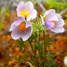 Prairie Crocus - Wildflowers of Alberta by Roxanne Persson