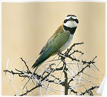 White-throated bee-eater checking out the Canon Poster