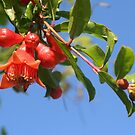 Pomegranate Flowers And Blue Skies by taiche