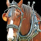 Shire Horse by Bine