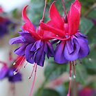 Fabulous Fuschias by Susan Moss