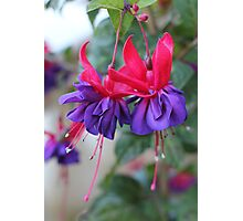 Fabulous Fuschias Photographic Print