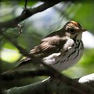 Ovenbird by Dennis Cheeseman