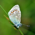 Common Blue Butterfly by Russell Couch