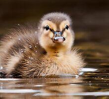Mallard Duckling by Steve  Liptrot