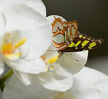 Butterfly on White Orchid  by msqrd2