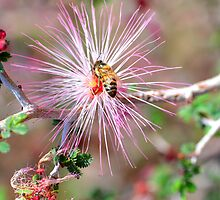 Mexican Fairy Duster with Bee by msqrd2