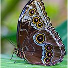 Blue morpho butterfly by alan tunnicliffe