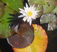 Tiny White Lily with coloured leaves by Anthea  Slade