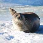Weddell Seal Says Hello by cactus82