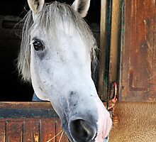 Horse by its stable window by Sami Sarkis