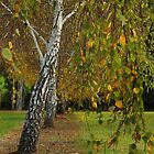 Silver Birch by Elaine Teague