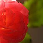 Pink ros by Sami Sarkis