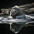 A Polar Bear Reflects by Karol Livote