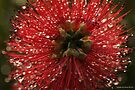 dew drops on banksia 001 (macro flora 035) by Karl David Hill