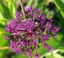 Allium by Sandra Lee Woods