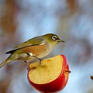 Look OUT..Silly Bee.. This Apple&#x27;s Got No Brakes!!! -Silver-Eye - NZ by AndreaEL