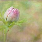 morning anemone by Teresa Pople