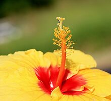 Red and Yellow Hibiscus by cathywillett