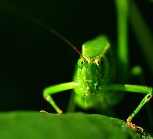 Wednesday Wonder Shot - Bush Cricket by Dennis Stewart