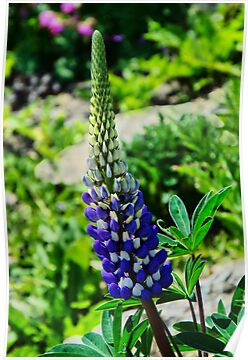 Blue Lupins by Susie Peek