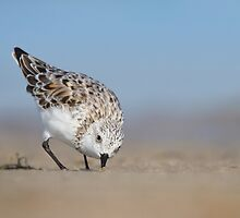 Low Angle Sanderling Foraging. by Daniel Cadieux