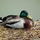 Duck on a Raft by MyPixx