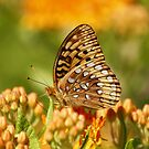 Great Spangled Fritillary Butterfly by Gregg Williams