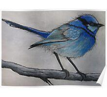 Little Blue Wren Poster