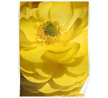 Sunny Yellow Ranunculus Poster