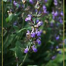 Salvia Officinalis by Mieke Vleeracker