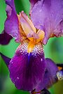 Purple Iris by Tori Snow