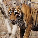 Ranthambore Tiger by Braedene