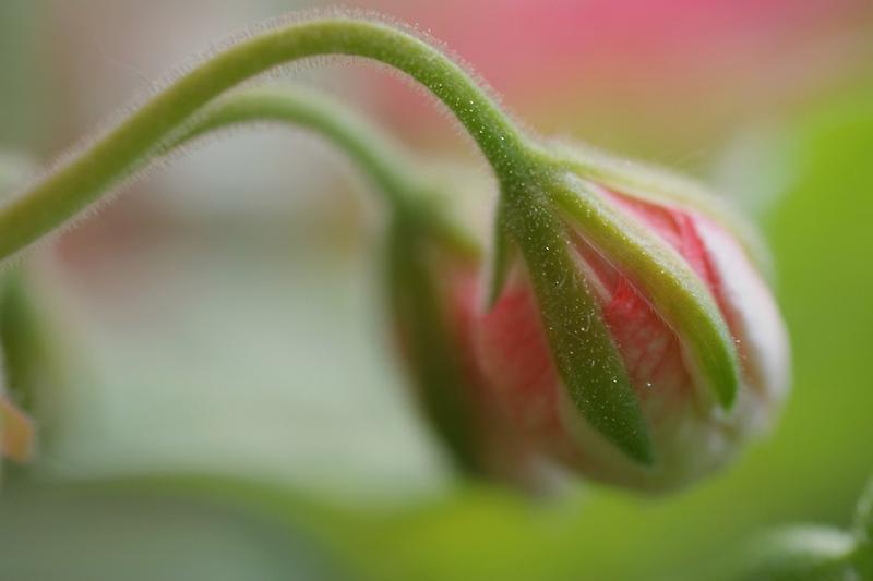 Geranium Buds by marens
