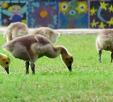 Snack Time For Baby Goslings by Cynthia48