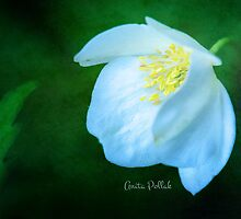 White Cranesbill Blossom by Anita Pollak