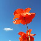 Two Poppies by KUJO-Photo