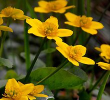 Marsh Marigolds by Nicole DeFord