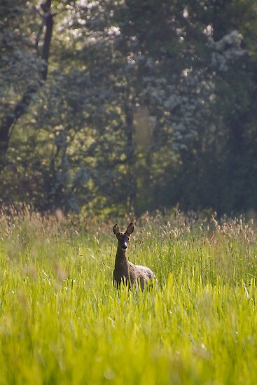 Roe Deer by Andrew Leighton