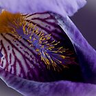 Purple Iris 2 by Jacinthe Brault