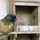 Paw the Chicken by cherylc1